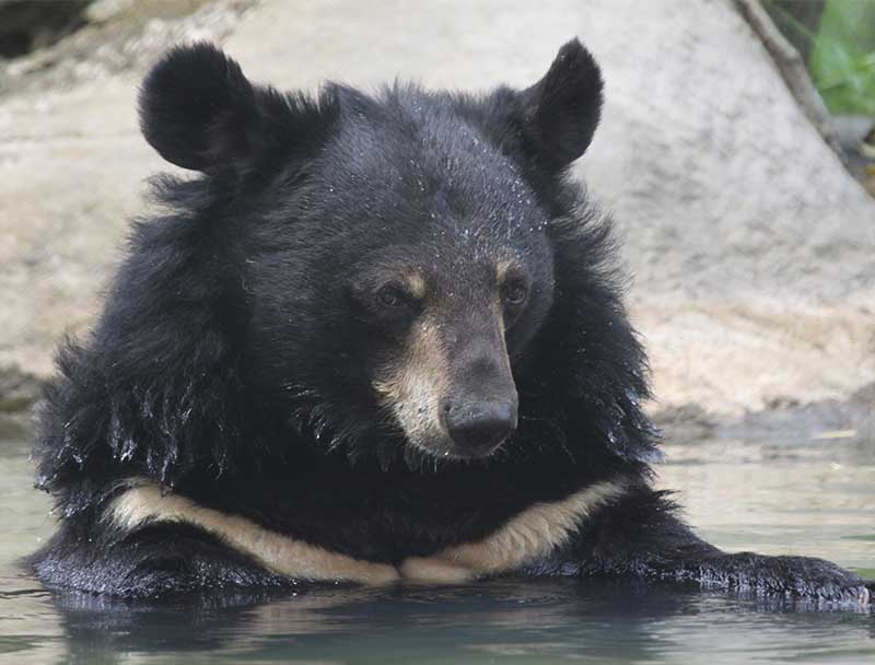 Unbearable: The Illegal Trade in Asian Bear Species