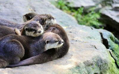 Otters at CITES CoP18: Stronger protection from over-exploitation