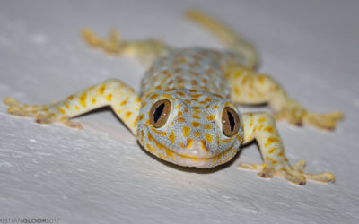 Millions of Tokay Geckos are taken from the wild each year.