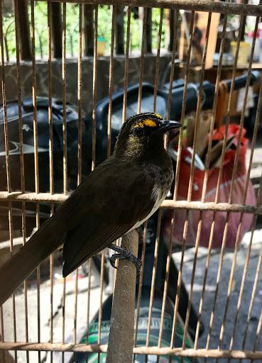 Indonesian endemic songbirds under threat