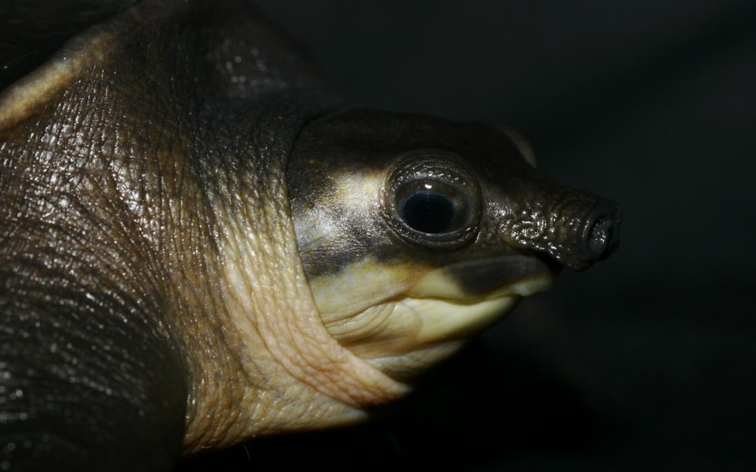 Spotlight on Indonesia: Endangered pig-nosed turtles threatened by illegal wildlife trade