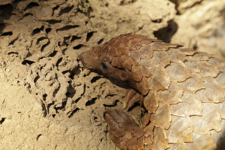 Underestimating the illegal wildlife trade: A ton or a tonne of pangolins?
