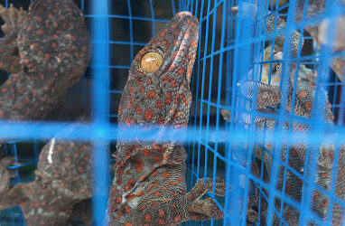 US imports more than a million live reptiles from Indonesia between 2000-2015