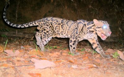 Exploitation of Javan Leopards and Sunda Clouded Leopards in Indonesia