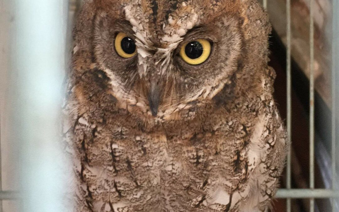 Illegal trade of the endemic Rinjani Scops-owl in Indonesia