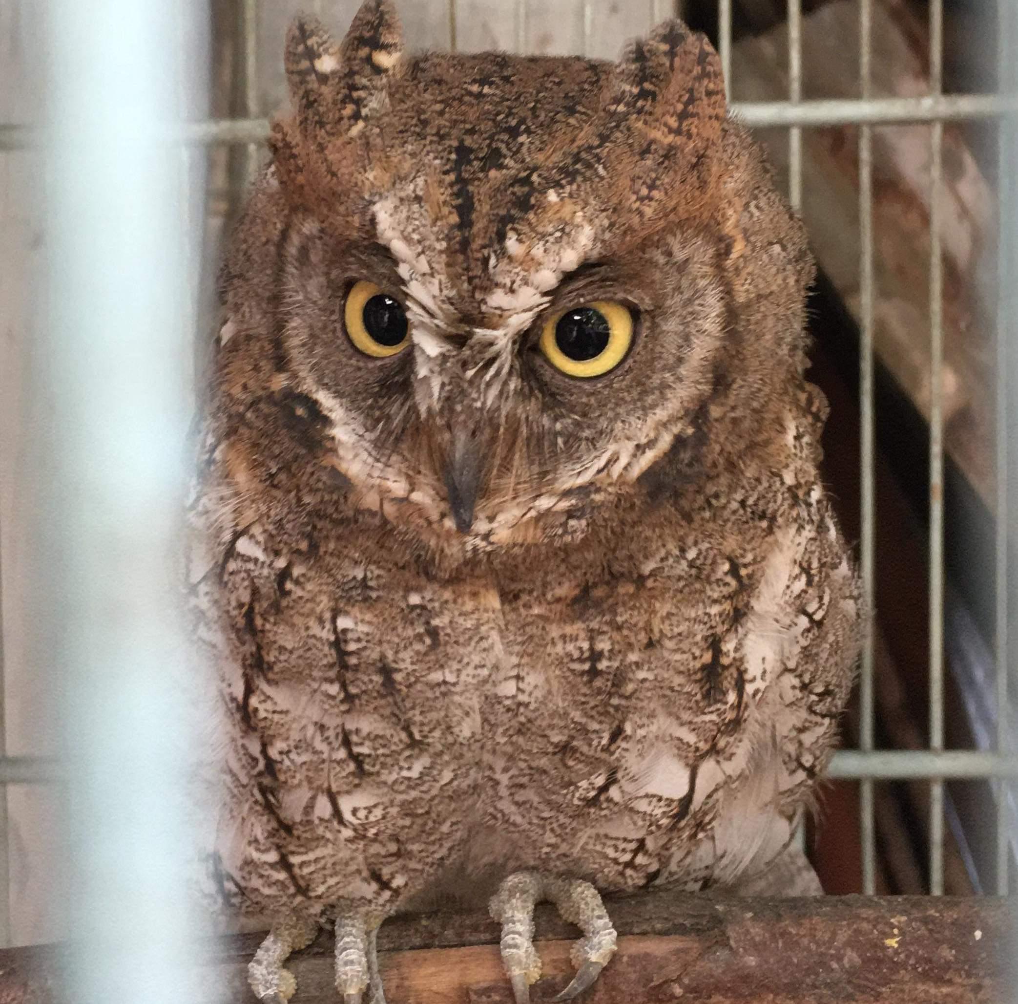 Rinjani Scops-Owl Lombok 03-06-19 copy