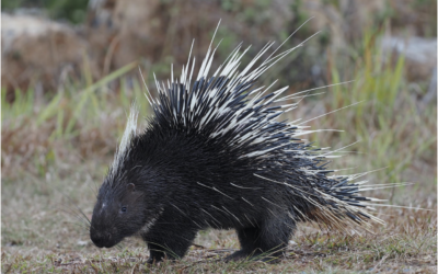 Illegal hunting and exploitation of porcupines for meat and medicine in Indonesia