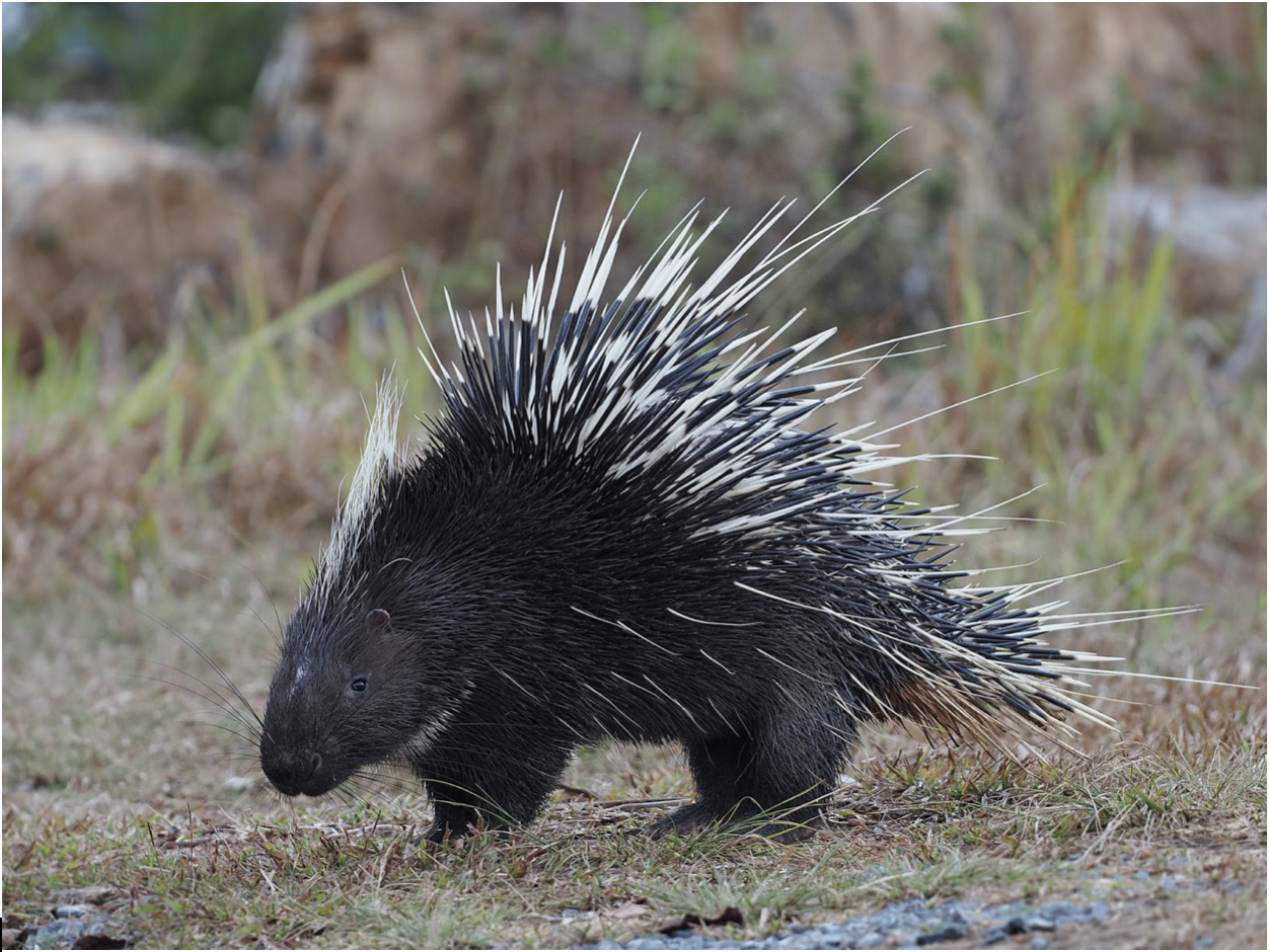 exported porcupines indonesia