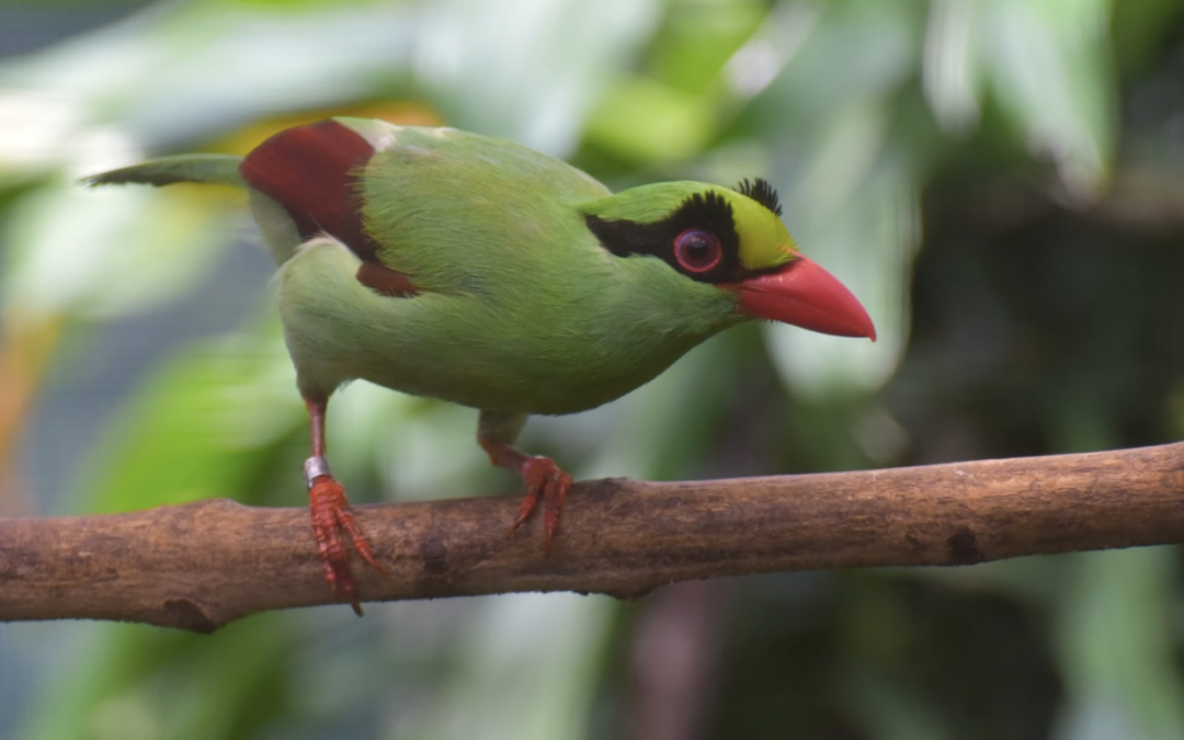 Monitor Songbird Lab to address illegal and unsustainable songbird trade