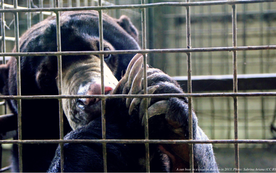Bear-ly on the Radar: Indonesia's Illegal Trade in Sun Bears Could Worsen in the Pandemic